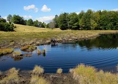 a tőzegláp egyik tószeme / lake in the muskeg (debreczeniemoke) Tags: blue autumn pond lakeside transylvania bog transilvania tó erdély muskeg ősz kék tópart láp tőzegláp canonpowershotsx20is gutinhegység tăulchendroaiei gutinmountains
