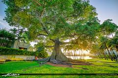 Kapok Tree at Palm Beach Island Flagler Museum (Captain Kimo) Tags: florida westpalmbeach banyantree palmbeachcounty kapoktree photoma