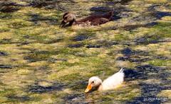 DSC_0314 (rachidH) Tags: sea lake birds geese mediterranean hellas ducks goose greece waterfowl kefalonia canard oiseaux muscovy oie karavomylos rachidh melissany