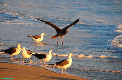PeckingOrder (mcshots) Tags: ocean california sea summer usa seagulls beach nature water birds animals coast wings sand surf waves wildlife stock salt socal breakers mcshots swells combers losangelescounty