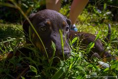 Jungle Trek, Peru (photosbymcm) Tags: travel dog cute peru southamerica animal inca america puppy photography south may culture adorable inka adventure pup peruvian 2014 quecha photosbymcm matthewmcandrew