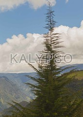 Fir Forest In The Andes (kalypsoworldphotography) Tags: above travel blue wild sky sun mountain cold tree green tourism southamerica nature forest landscape ecuador scenery stream view outdoor altitude country sunny nobody scene aerial highland evergreen alpine valley andes fir destination environment tall wilderness majestic viewpoint limit spruce thick height coniferous cordillera andean touristic
