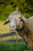 201408-Scharfe-7193 (jerdlingshof) Tags: green sheeps wz scharfe erdlingshof