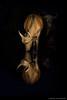 The prettiest of them all.. (hvhe1) Tags: africa nature animal southafrica mammal buffalo wildlife safari capebuffalo gamedrive gamereserve malamala synceruscaffer specanimal waterbuffel hvhe1 hennievanheerden