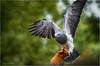 Chilean Blue Eagle (peter3400) Tags: bird minolta eagle sony sonyalpha dslra850 sonya850 300f4hs