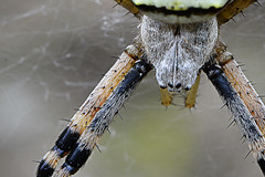Argiope frelon (Baumgartchristophe@gmail.com) Tags: bw france macro jaune zoom crochet alsace montage couleur argiope sauvage arachnide frelon cadrage