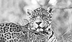 Jaguar (Dan Sutherst) Tags: portrait animals cat canon zoo camo spots camouflage jag jaguar tamron bigcats catportrait tamron70300mm bigcatportrait southlakeszoo bigpet