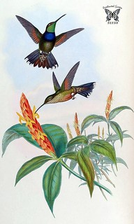 Aphelandra. Aphelandra variegata with hummingbirds feeding on  flowers. A monograph of the Trochilidæ, or family of humming-birds, vol. 2 (1861) [J. Gould & H.C. Richter]