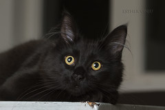 Cattery Mimos (Esther Vinju Photography) Tags: pet animal cat photography kat maine kitty coon mainecoon beast esther huisdier dier poes kater fokker beest cattery vinju