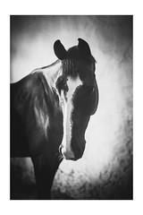 Swarovsky portrait (MiuMiuKitty) Tags: autumn wild horses horse nature animal animals happy russia wildlife naturalbeauty naturesbest horselover      myhorse wildnature  horseworld  horselife naturebest ilobsterit horsesworld horseslife