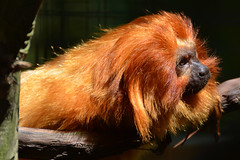Golden Lion Tamarin (PMillera4) Tags: zoo golden newjersey primate goldenliontamarin capemaynj capemayzoo