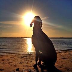 Sundog ☀️ (saikiishiki) Tags: summer dog sun beach square weimaraner squareformat mukha sungazing smyrnadunes iphoneography instagramapp uploaded:by=instagram