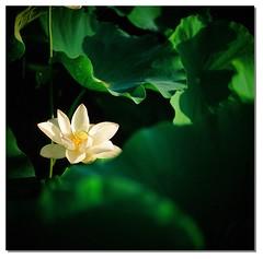 Lotus (smadalin2012) Tags: flowers summer 6x6 film mediumformat lotus kodak bokeh taiwan hasselblad scanned taoyuan e100vs angenieux p4 150mm f27 hasselblad203fe cmount