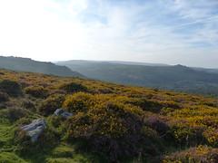 P1010352 (jrcollman) Tags: plants places devon dartmoor houndtor callunavulgaris ulexgallii cplant haytortohoundtor