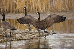Canadian goose full wing span 2017 (TheArtOfPhotographyByLouisRuth) Tags: canadiangoosegoosewingspangooselargebirdwaterfowl wildlifebirdsunning goose wings wingspan feathers largebirds canadiangoose waterfowl pondlife birds wildlife outdoor bird animal water supremeimages asenseofmotion critters animalphotographycontest animalplanet thebestcaptures thebestcapturesaoi galaxy fantasticcapture