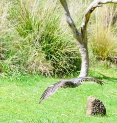 Barking Owl (Trav_Hale) Tags: animal animals barkingowl creature healesville healesvillesanctuary sanctuary spiritsofthesky wildlife zoo zoophotography zoosvictoriazoosvictoriaanimalanimalsbarkingowlwildlifezoozoophotographycreaturehealesvillehealesvillesanctuarysanctuarybadgercreekvictoriaaustralia