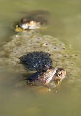 Bicolores (berthou.patrick) Tags: les grenouilles rousses