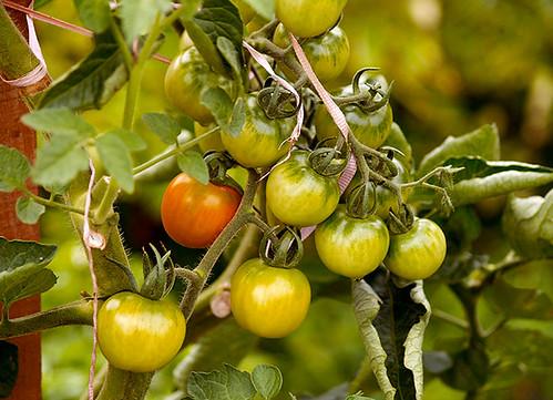 Early Season Cherry Tomatoes