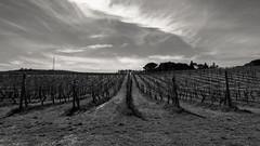 10/52 - Perspective (chesilu) Tags: landscape vineyard vines grapes tuscany italy bw blackandwhite dogwood52 dogwood2017 dogwood52week10