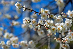 Miyazaki Plum Blossom Branch (aeschylus18917) Tags: danielruyle aeschylus18917 danruyle druyle ダニエルルール japan 日本 kyushu 九州県 miyazaki 宮崎県 flower 花 plum blossoms flowers spring 105mm prunusmume ウメ 春