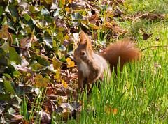 Eichhörnchen / März 2017 / 2 (ALXDO1) Tags: frühling spring flowers krokusse karlsruhe schloss schlossgarten eichhörnchen