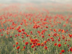 Brume sur un champs de coquelicots ***-- -°--° (Titole) Tags: mist field poppies brume coquelicots challengegamewinner thechallengefactory herowinner storybookwinner titole nicolefaton