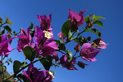 Bougainvillea (sosivov) Tags: flowers blue flower bougainvillea greece lilac rhodes