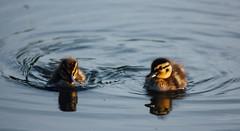 Beresford Park 05 (Alasdair Jackson) Tags: park sunset two reflection cute gold duck kodak duckling kingston mallard hull beresford eastyorkshire vsco