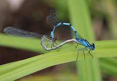IMG_0645 Mating damsels (tobyjug5) Tags: blue macro london sex wildlife insects sl1 commonblue 60efs