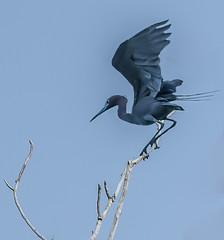 Herons-33 (JimBoots) Tags: unitedstates kansas wichita