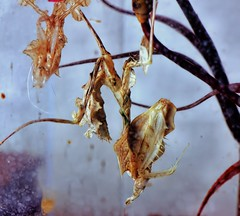 Idolomantis diabolica, molting to 4th instar (_papilio) Tags: macro canon mantis invertebrate canonmpe65mm papilio mantid arthropod 6d diabolica idolomantis