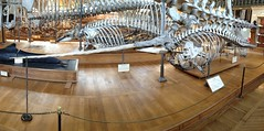 Narwhal skeleton (Leo Reynolds) Tags: panorama museum skeleton gallery pano bone 4s iphone leol30random iphoneography iphone4s xleol30x groupiphone xxx2014xxx xxgeotaggedxx