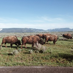Mormon Row Herd (beaubright) Tags: vacation nature animals landscape photography buffalo wildlife horizon kelly wyoming roadside bison herd grazing wy grandtetonnationalpark mormonrow iphoneography vscocam