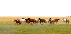 IMG_0698 (mhfphoto) Tags: ranch horses texas bluesky colts panhandle fillies galloping