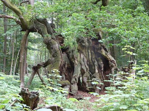 The Royal Oak (Kongeegen), the oldest tree in northern Europe