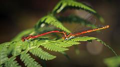 Large Red Damselflies (Trond Strmme) Tags: fern macro nature oslo insect damselfly odonata bregne zygoptera pyrrhosomanymphula largereddamselfly bjerke yenstikker rvoll nymfe isdammen europeandamselfly blvannymfe rdvannymfe