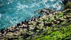 Stewart Island Shags and nests (Pursuedbybear) Tags: newzealand otago dunedin cormorant otagopeninsula taiaroahead royalalbatrosscentre stewartislandshag