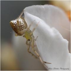 Sparkle Ass Spider ? (Thwaitesia argentiopunctata) (GTV6FLETCH) Tags: macro spider sparkle mpe65mm canonmpe65 sparklyass 5dmarkii thwaitesiaargentiopunctata sparkleass