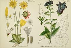 Anglų lietuvių žodynas. Žodis bellflower reiškia katilėlis lietuviškai.