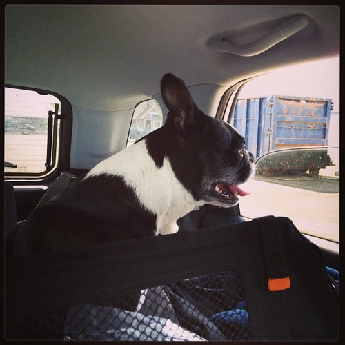 Car ride for Stella Bella Blue! #roadtrip #summer #shutterbugging #bostonterrier #bostonterriers #bostonterrierlove #bt #instadog #instapet #iheartmydog #dogdays #dogstagram #petstagram #bostagram #adogslife #dogsnamedstella