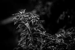 PLANTA NEGRE (ROBERT_TORRES) Tags: macro planta blanco vacances spain negro cano 7d negra cuenca