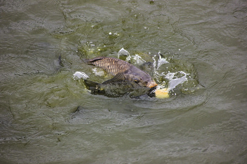 Carps eating roll