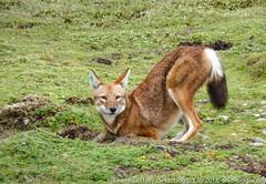 Ethiopian wolf, Sanetti Plateau, Utah (ebuechley) Tags: