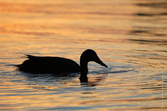 canne au levée du soleil / Duck at sunset (Danny Lamontagne) Tags: morning blue sunset red orange canada water canon soleil duck eau smooth duckling bleu québec dreamy mauricie matin levée rêverie troisrivières