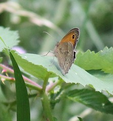 Meadow Brown Butterfly (kaylo88) Tags: eye butterfly insect wings flight meadowbrownbutterfly britishbutterfly bigbutterflycount