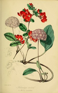 Pink sand verbena (Abronia umbellata), and Caulinia exima [as Kennedya eximia] Magazine of botany and register of flowering plants [J. Paxton], vol. 16: p. 36 (1839) [S. Holden]