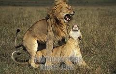 king4 (diani_safaris) Tags: africa game nature animal horizontal fauna female cat mammal couple wildlife lion safari wildanimal savannah wilderness mate predator savanna masaimara gamereserve eastafrica behaviour