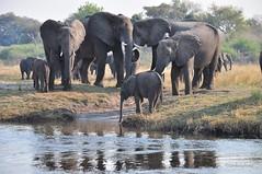 noch zu kurz (tim.ker) Tags: africa nikon afrika tamron elefant namibia bootsfahrt rssel herde 18270 d7100 tamron18270 elefantenherde nikond7100 timkerphoto