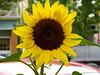 sunflower (jessicabragen) Tags: ocean bridge roses summer beach inn downtown nj shore sunflower jersey shops boardwalk jerseyshore oceangrove oceangrovenj jerseystrong