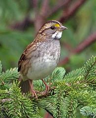 White-throated Sparrow (Bijouxbear) Tags: birds newfoundland garden sparrow whitethroated